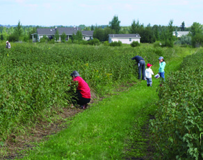 Black Currant Picking